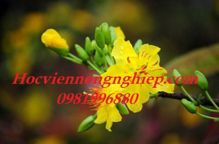 Mai Vàng Sắc Xuân2