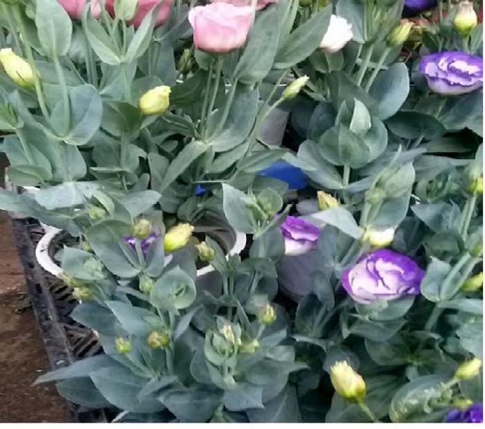 cung cấp hoa cát tường tết 2019, trung tâm cung cấp sỉ, lẻ, toàn quốc.5