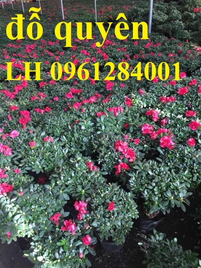 Chuyên cung cấp hoa đỗ quyên số lượng lớn, giao sỉ toàn quốc9