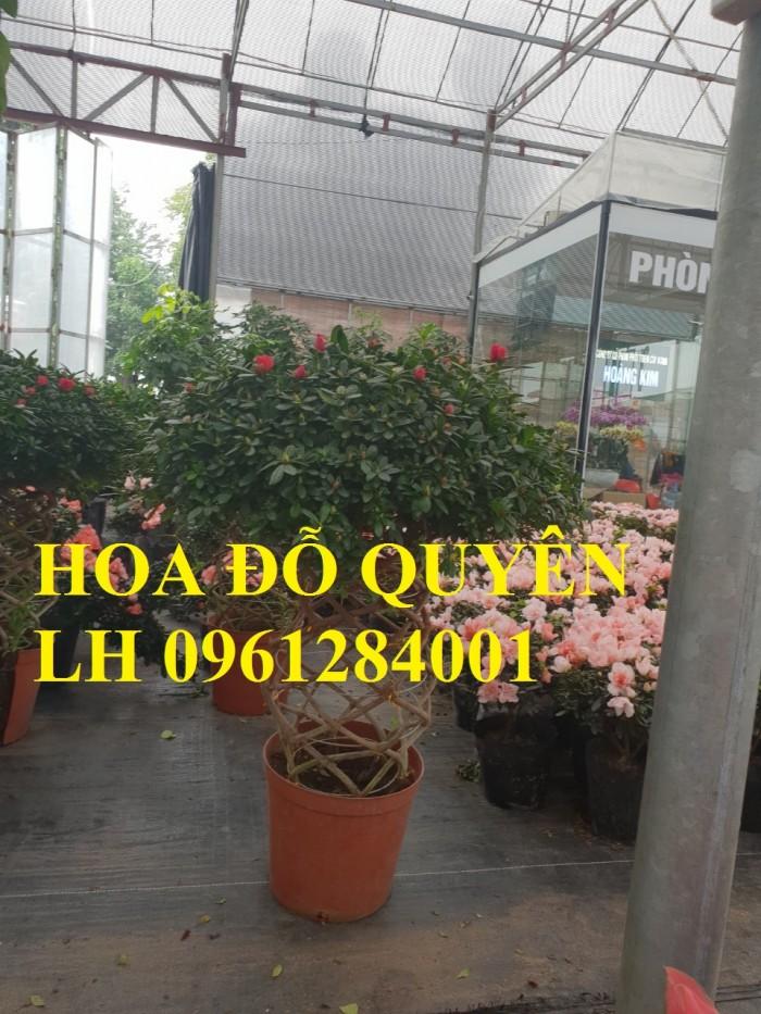 Chuyên cung cấp hoa đỗ quyên số lượng lớn, giao sỉ toàn quốc4
