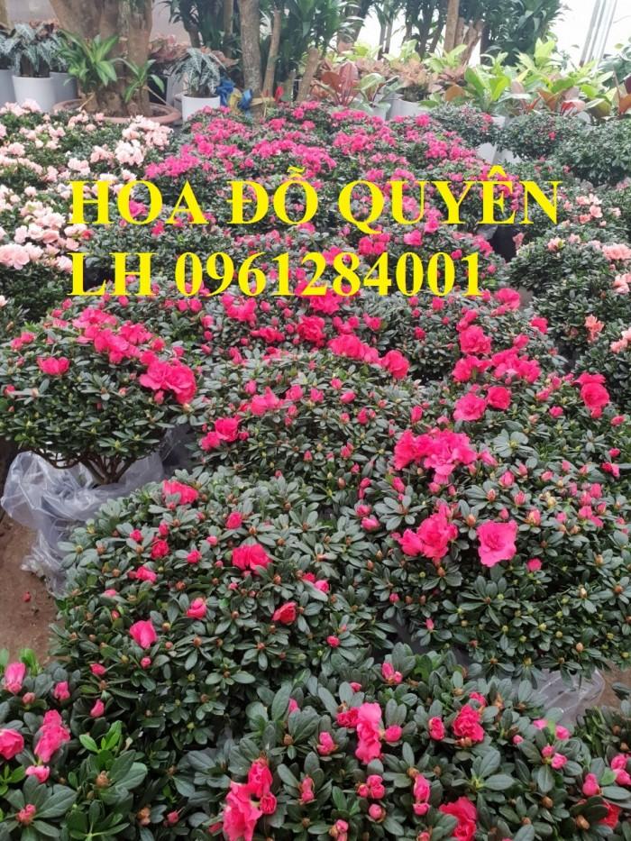 Chuyên cung cấp hoa đỗ quyên số lượng lớn, giao sỉ toàn quốc0