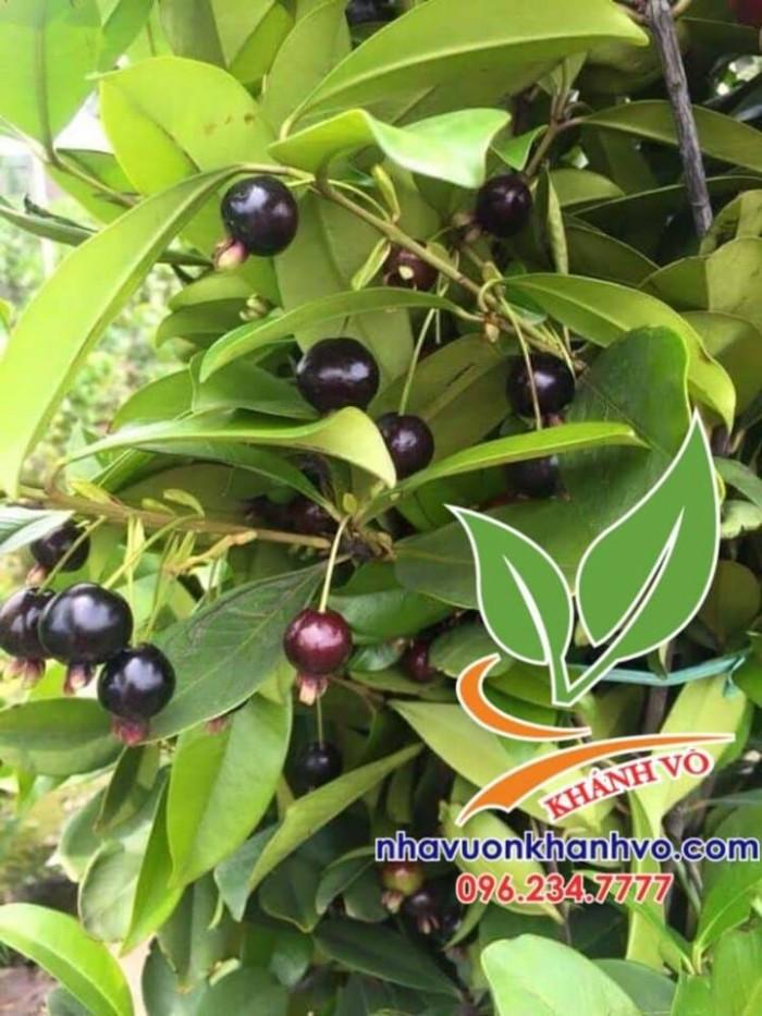 Cây cherry brazil trưởng thành đã cho trái 4 mùa Mới 100%, giá: 2.000.000đ,  gọi: 0965 097 404, Quận 12 - Hồ Chí Minh, id-07a11500