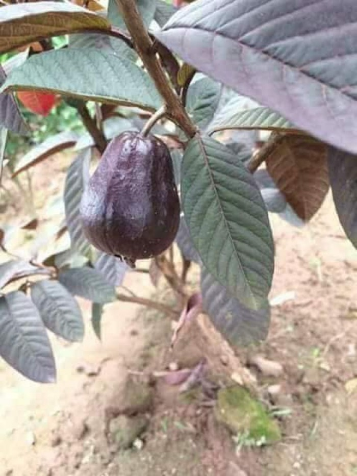 Cây ổi tím (cây đang có trái)1
