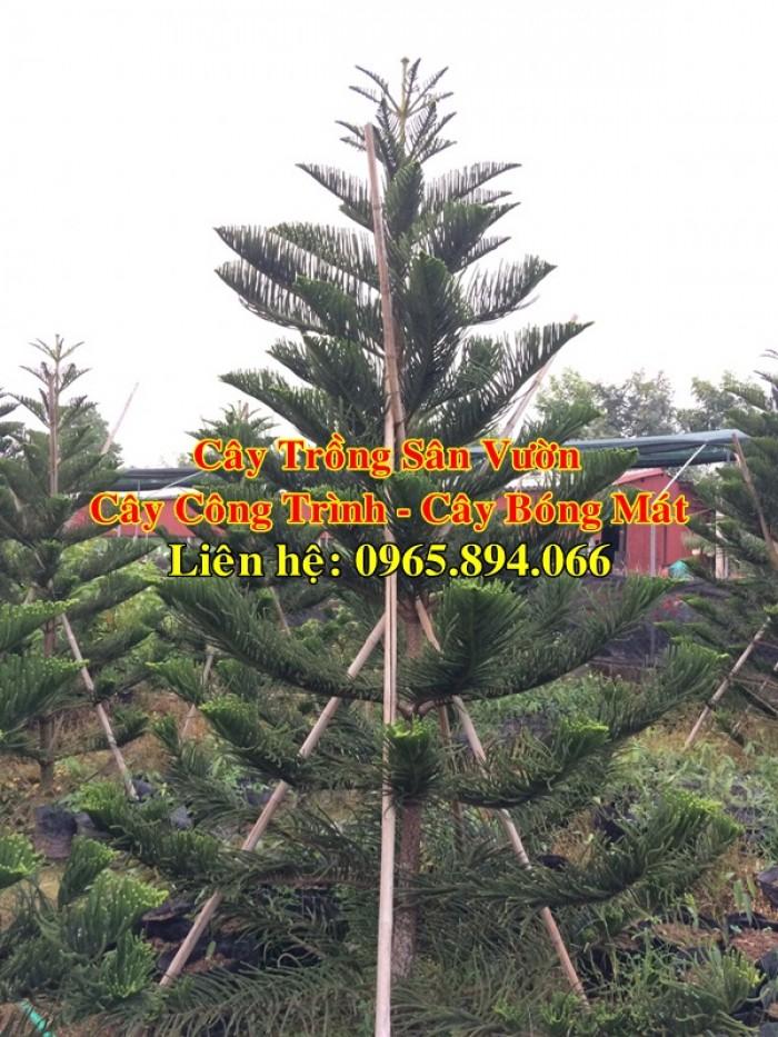 Cây tùng bách tán - cây công trình - cây bóng mát3