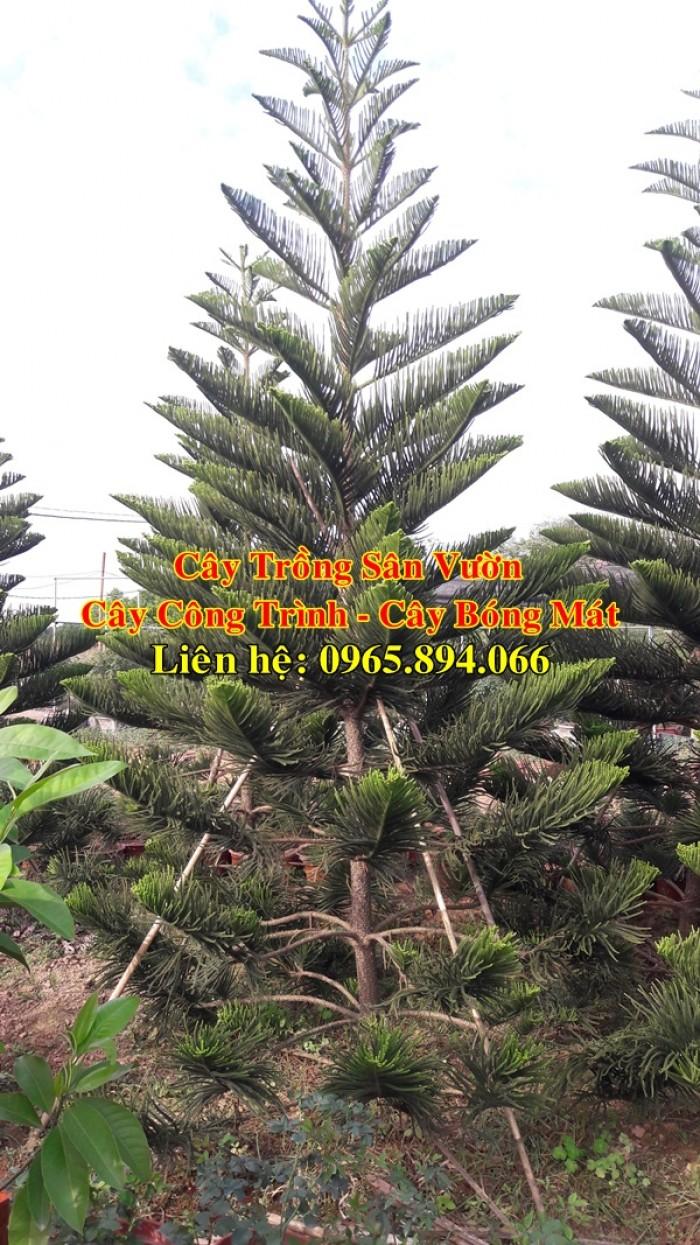 Cây tùng bách tán - cây công trình - cây bóng mát2