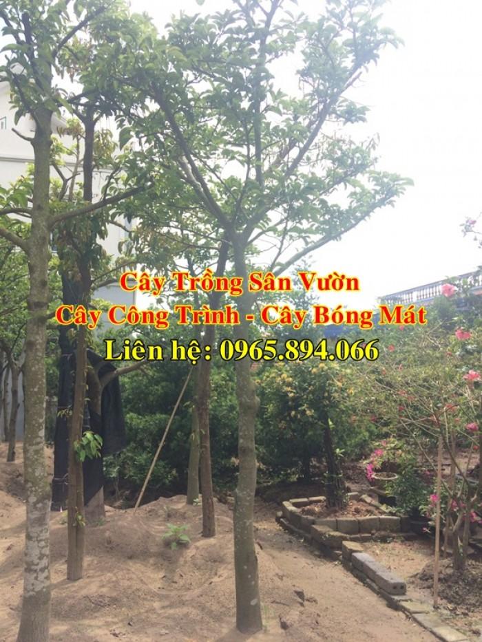 Cung cấp cây chay công trình, cây chay đại thụ, cây chay bóng mát, cung cấp các loại cây công trình5