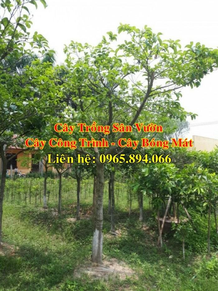 Cung cấp cây chay công trình, cây chay đại thụ, cây chay bóng mát, cung cấp các loại cây công trình3