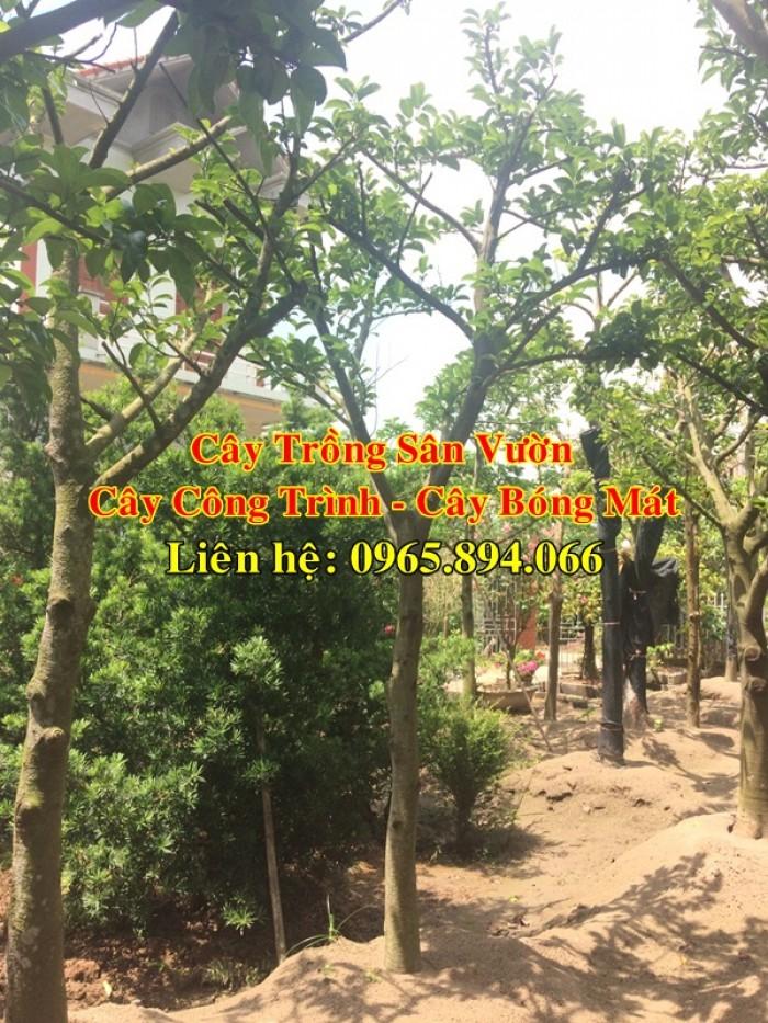 Cung cấp cây chay công trình, cây chay đại thụ, cây chay bóng mát, cung cấp các loại cây công trình0