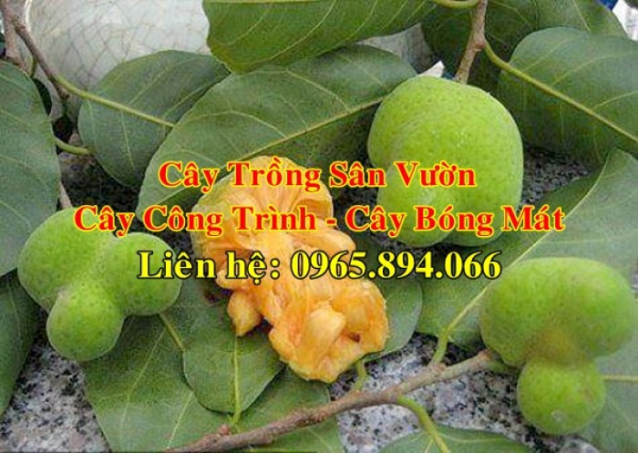 Cung cấp cây chay công trình, cây chay đại thụ, cây chay bóng mát, cung cấp các loại cây công trình8