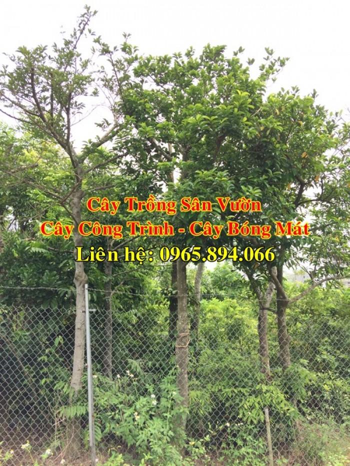 Cung cấp cây chay công trình, cây chay đại thụ, cây chay bóng mát, cung cấp các loại cây công trình4
