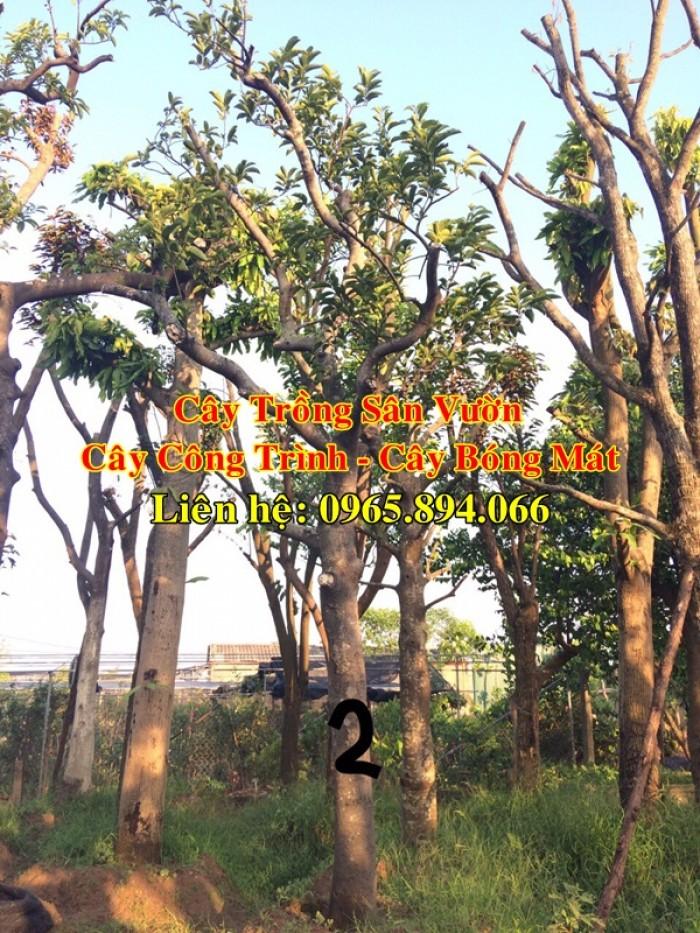 Cung cấp cây chay công trình, cây chay đại thụ, cây chay bóng mát, cung cấp các loại cây công trình1