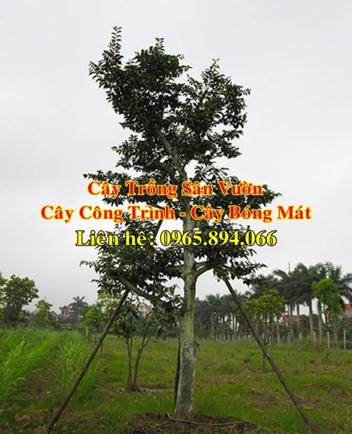 Cung cấp cây chay công trình, cây chay đại thụ, cây chay bóng mát, cung cấp các loại cây công trình2