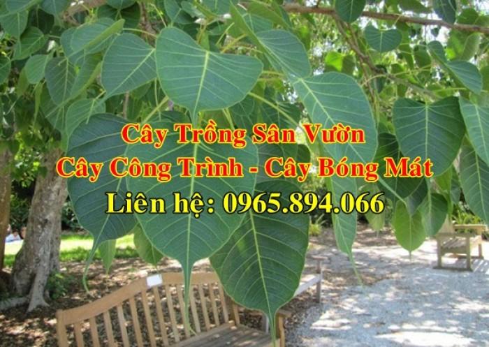 Cây bồ đề, cây đề, cây giác ngộ, cây đề trồng linh đường, cây đề trồng miếu chùa, cây đề tâm linh3
