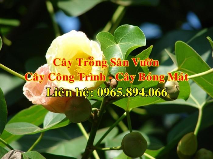 Cây bồ đề, cây đề, cây giác ngộ, cây đề trồng linh đường, cây đề trồng miếu chùa, cây đề tâm linh5