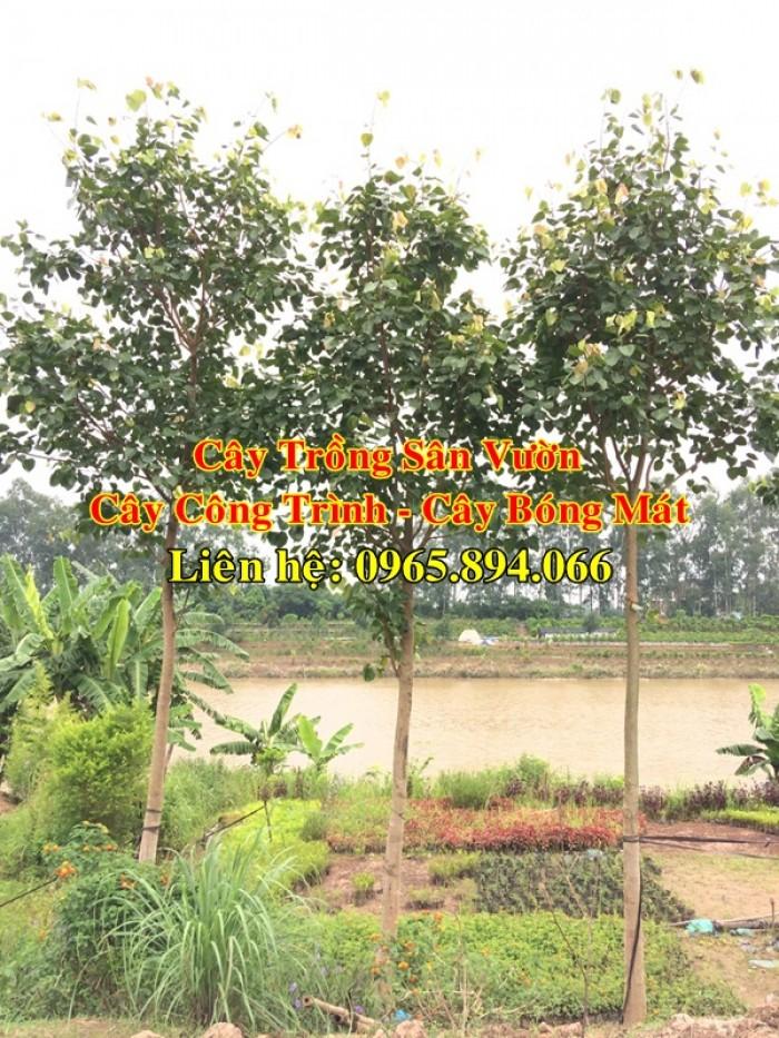 Cây bồ đề, cây đề, cây giác ngộ, cây đề trồng linh đường, cây đề trồng miếu chùa, cây đề tâm linh1