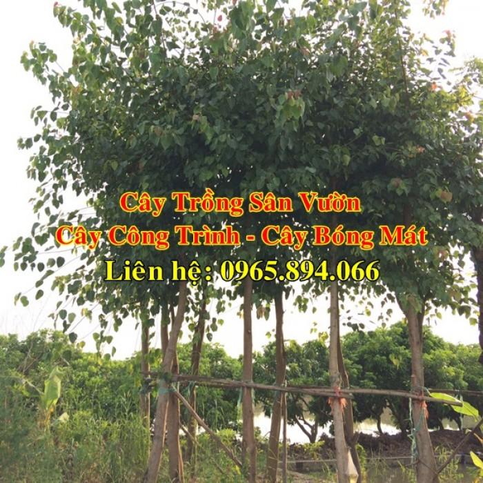 Cây bồ đề, cây đề, cây giác ngộ, cây đề trồng linh đường, cây đề trồng miếu chùa, cây đề tâm linh4
