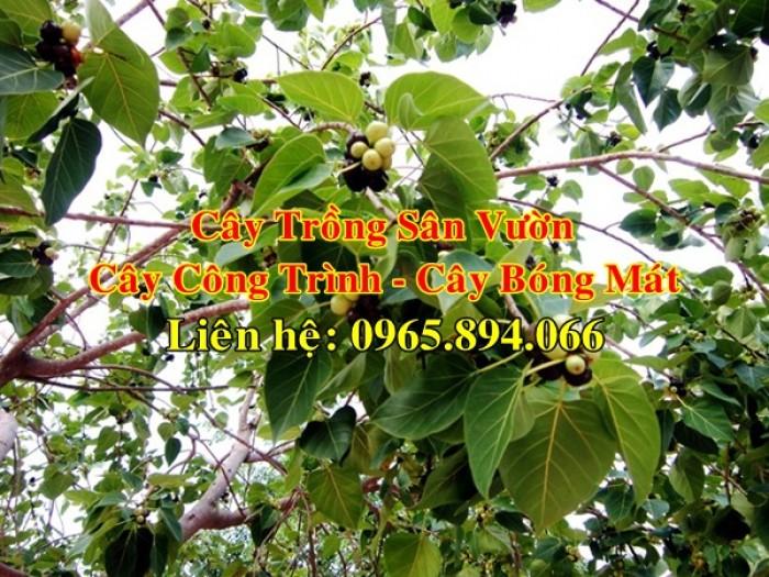 Cây bồ đề, cây đề, cây giác ngộ, cây đề trồng linh đường, cây đề trồng miếu chùa, cây đề tâm linh6