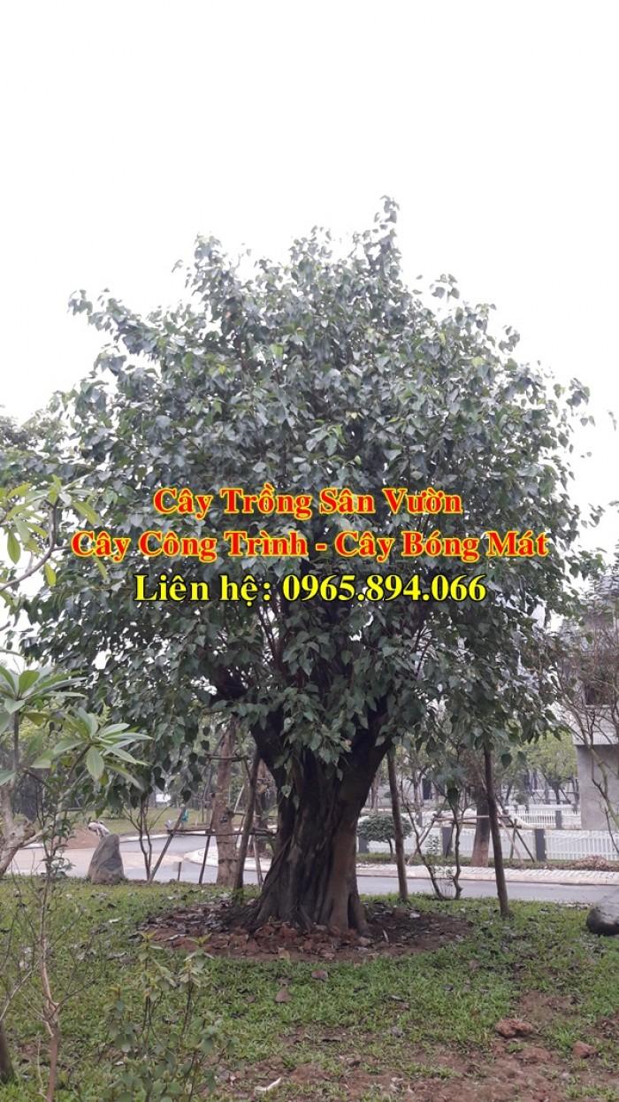Cây bồ đề, cây đề, cây giác ngộ, cây đề trồng linh đường, cây đề trồng miếu chùa, cây đề tâm linh0
