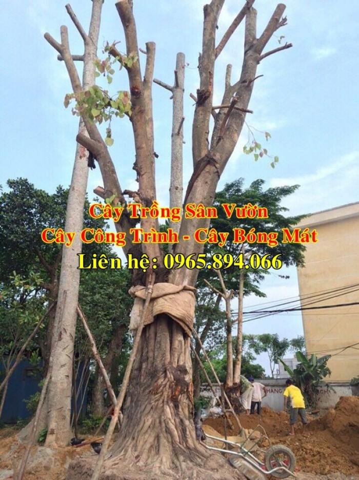 Cây bồ đề, cây đề, cây giác ngộ, cây đề trồng linh đường, cây đề trồng miếu chùa, cây đề tâm linh2