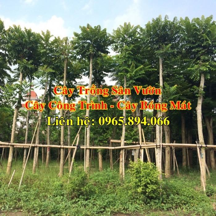 Cung cấp cây lát hoa công trình, cây lát hoa trồng công trình - các loại cây công trình - giá cạnh tranh2