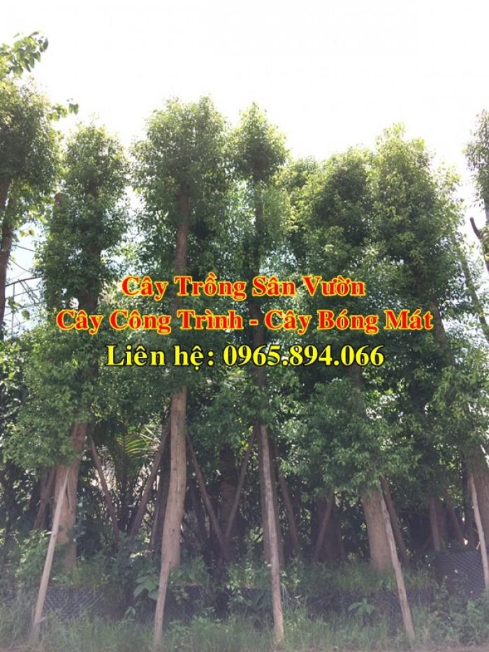 Cây long não công trình, cung cấp cây long não trồng công trình, long não công trình, cây long não dự án5