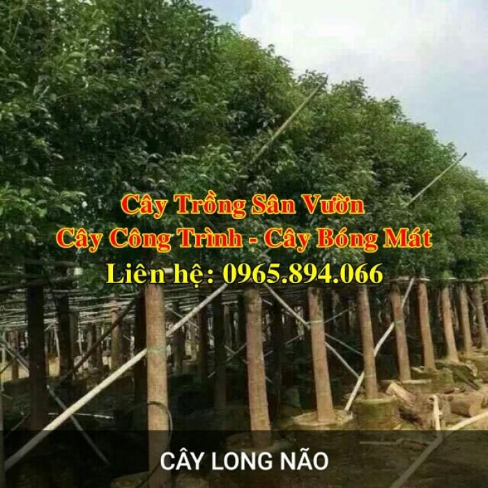 Cây long não công trình, cung cấp cây long não trồng công trình, long não công trình, cây long não dự án7
