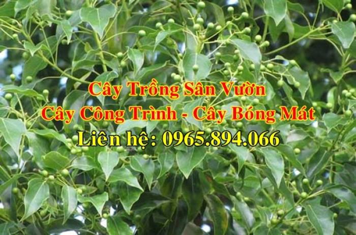 Cây long não công trình, cung cấp cây long não trồng công trình, long não công trình, cây long não dự án9