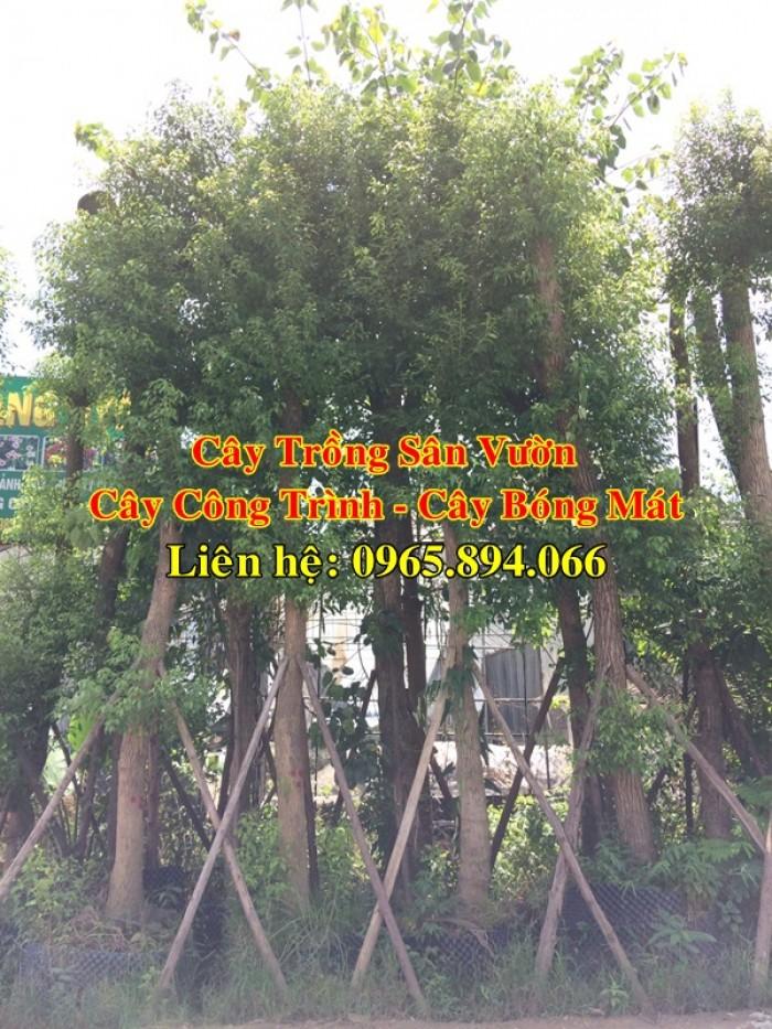 Cây long não công trình, cung cấp cây long não trồng công trình, long não công trình, cây long não dự án6