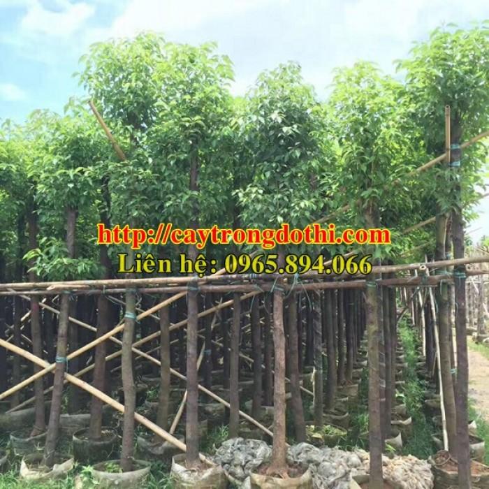 Cây long não công trình, cung cấp cây long não trồng công trình, long não công trình, cây long não dự án4