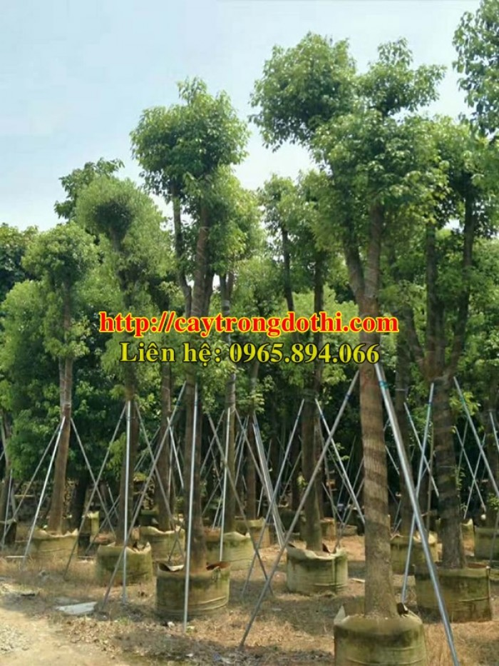 Cây long não công trình, cung cấp cây long não trồng công trình, long não công trình, cây long não dự án2