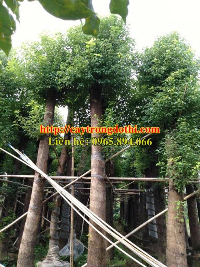 Cây long não công trình, cung cấp cây long não trồng công trình, long não công trình, cây long não dự án1