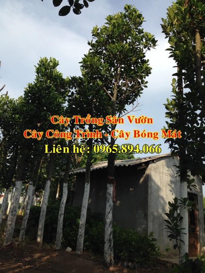Cung cấp cây mít công trình, mít công trình, cây mít cổ thụ, cây mít trồng sân vườn4