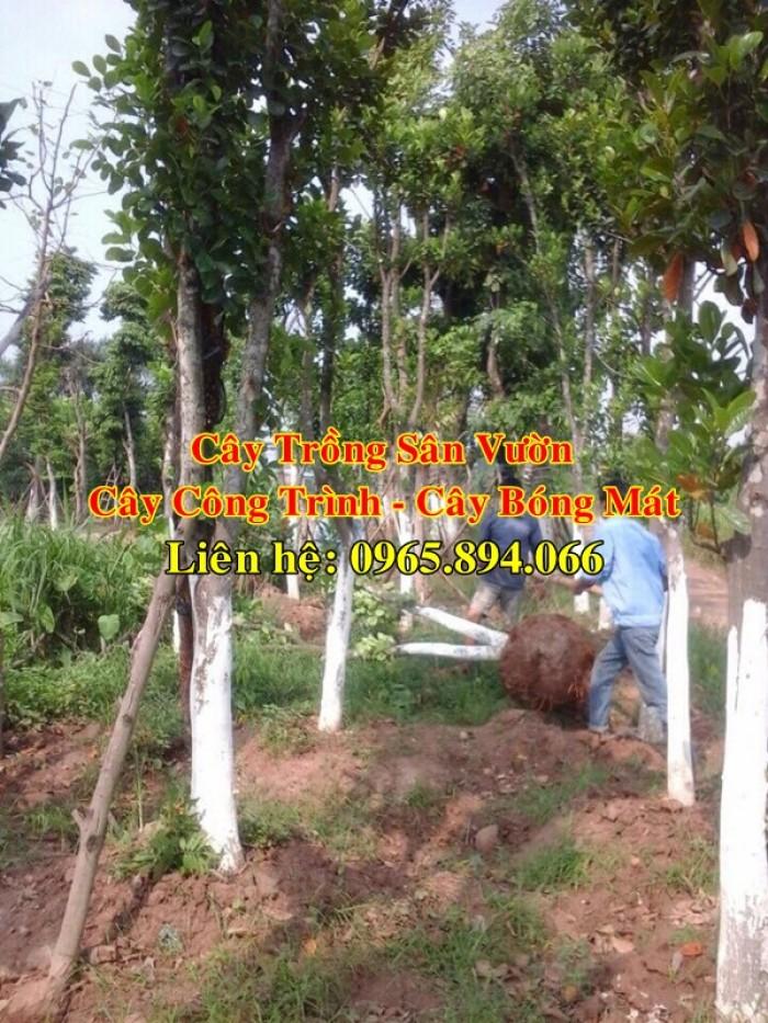 Cung cấp cây mít công trình, mít công trình, cây mít cổ thụ, cây mít trồng sân vườn3