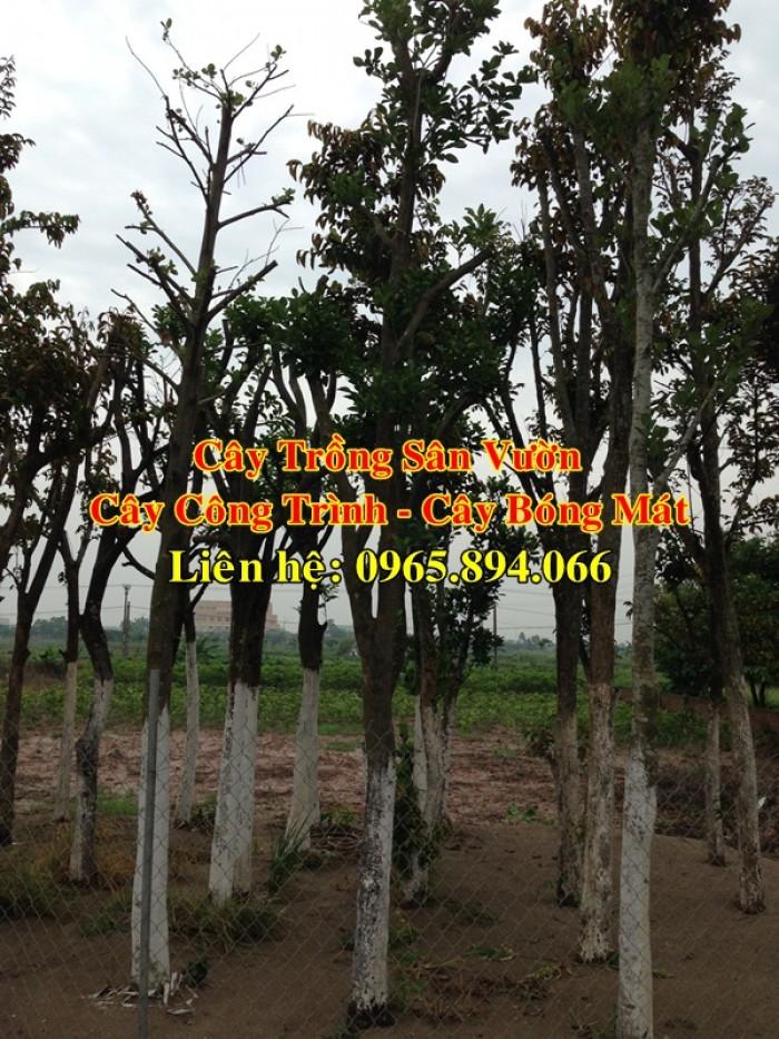 Cung cấp cây mít công trình, mít công trình, cây mít cổ thụ, cây mít trồng sân vườn0
