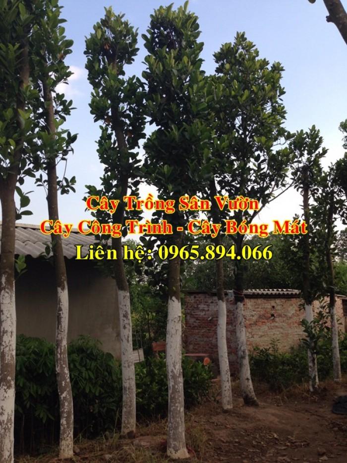Cung cấp cây mít công trình, mít công trình, cây mít cổ thụ, cây mít trồng sân vườn2