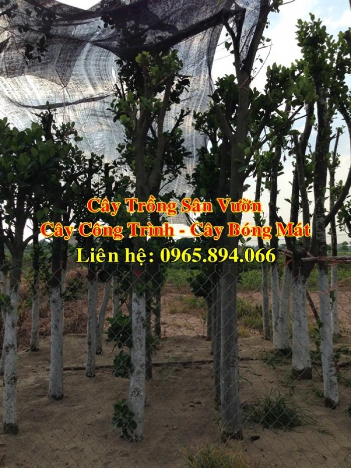 Cung cấp cây mít công trình, mít công trình, cây mít cổ thụ, cây mít trồng sân vườn1