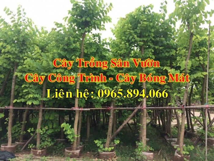Cây móng bò tím, cây móng bò công trình, trồng cây móng bò công trình, cây móng bò bóng mát7