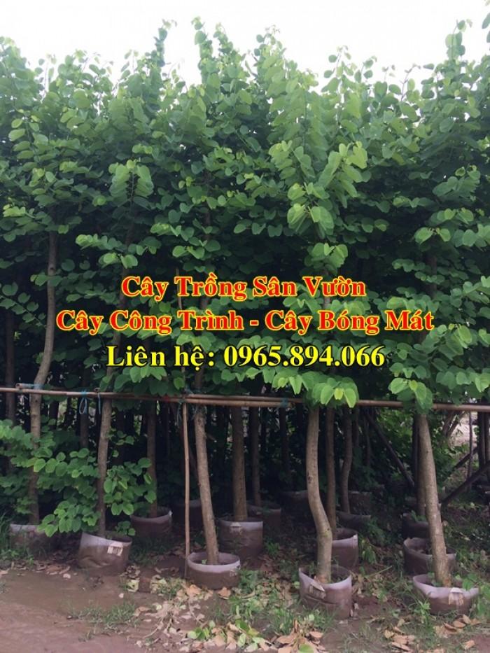 Cây móng bò tím, cây móng bò công trình, trồng cây móng bò công trình, cây móng bò bóng mát2