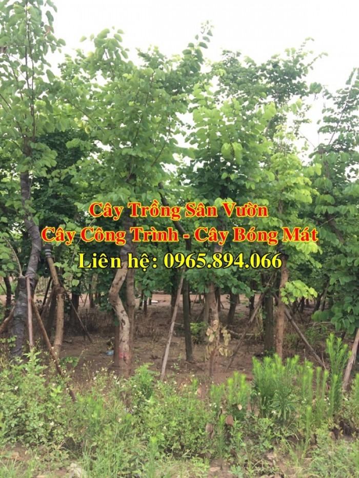 Cây móng bò tím, cây móng bò công trình, trồng cây móng bò công trình, cây móng bò bóng mát1