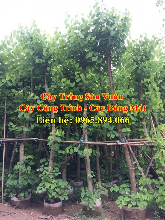 Cây móng bò tím, cây móng bò công trình, trồng cây móng bò công trình, cây móng bò bóng mát0