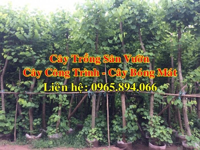 Cây móng bò tím, cây móng bò công trình, trồng cây móng bò công trình, cây móng bò bóng mát5