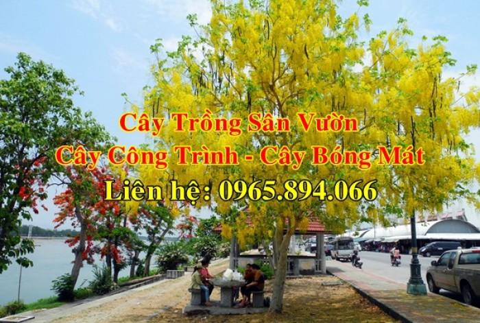 Cung cấp cây muồng hoàng yến, cây osaka vàng công trình, cây muồng hoa vàng, muồng hoàng yến công trình1