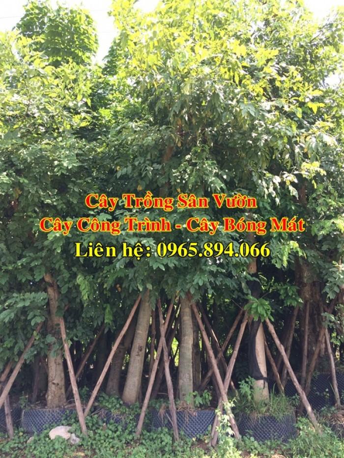 Cung cấp cây muồng hoàng yến, cây osaka vàng công trình, cây muồng hoa vàng, muồng hoàng yến công trình3