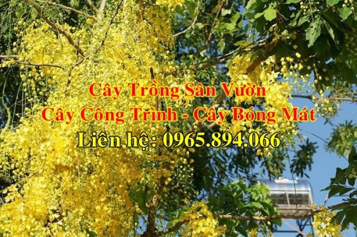 Cung cấp cây muồng hoàng yến, cây osaka vàng công trình, cây muồng hoa vàng, muồng hoàng yến công trình2