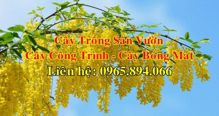 Cung cấp cây muồng hoàng yến, cây osaka vàng công trình, cây muồng hoa vàng, muồng hoàng yến công trình0
