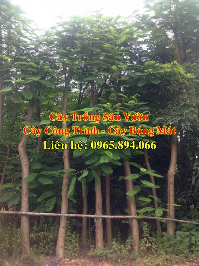 Cung cấp cây phượng công trình, cây phượng vĩ đỏ, cây phượng vĩ công trình1