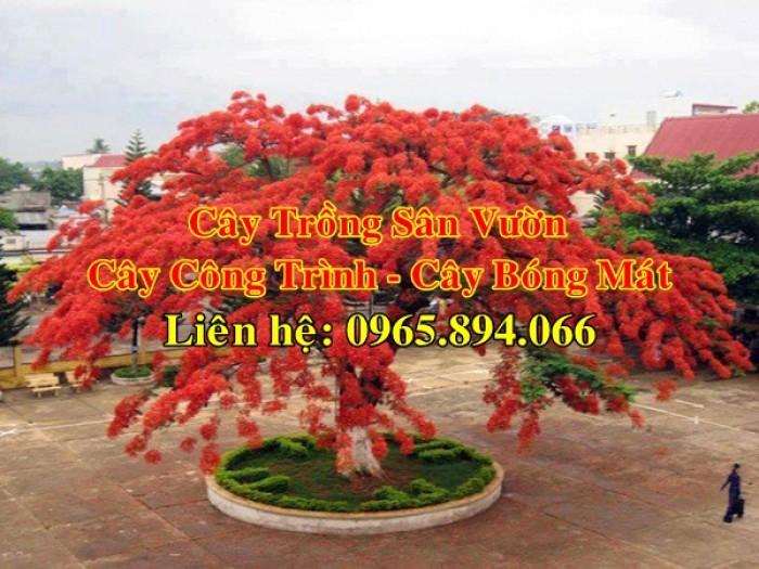 Cung cấp cây phượng công trình, cây phượng vĩ đỏ, cây phượng vĩ công trình5