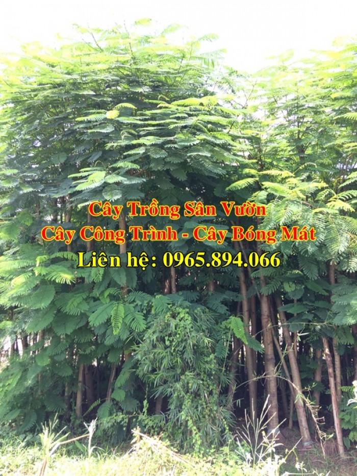 Cung cấp cây phượng công trình, cây phượng vĩ đỏ, cây phượng vĩ công trình2