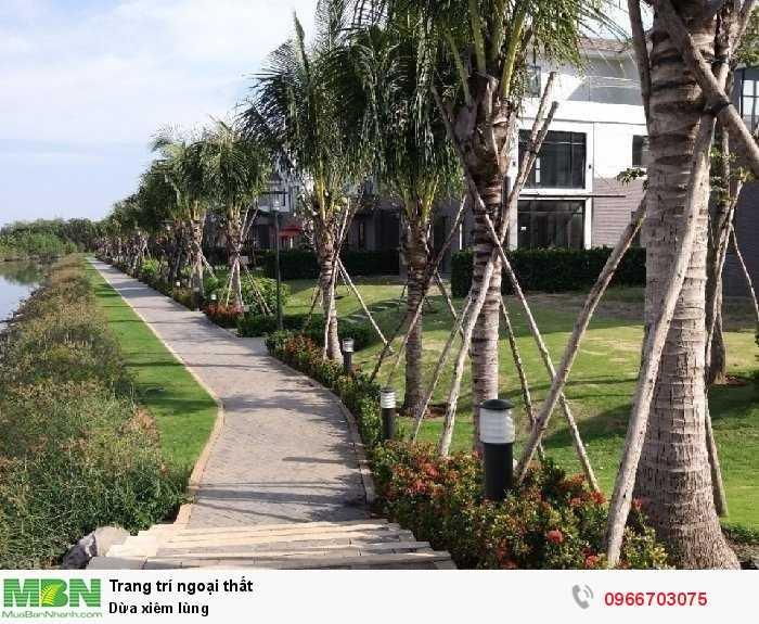 Dừa xiêm lùn Bến tre - Cây giống dừa xiê