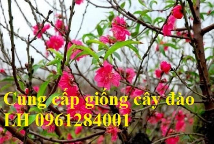 Chuyên cung cấp giống cây đào bạch, đào phai, đào bích, hoa đào cánh kép, số lượng lớn11